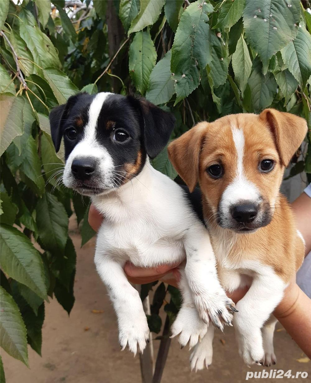 Vand jack russel russell