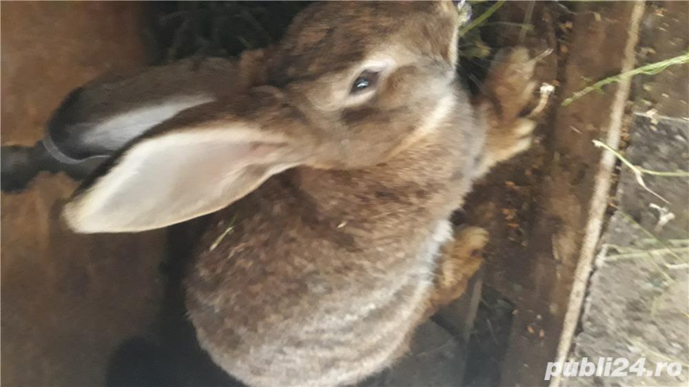 Vand iepurii