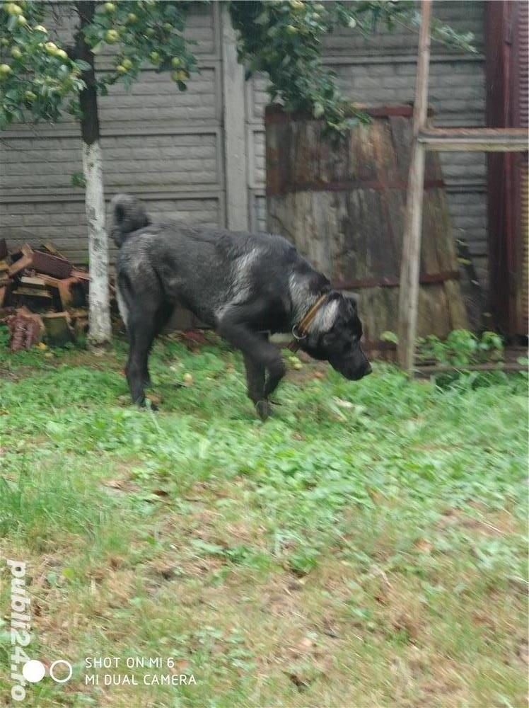 kangal negru mascul 6 luni