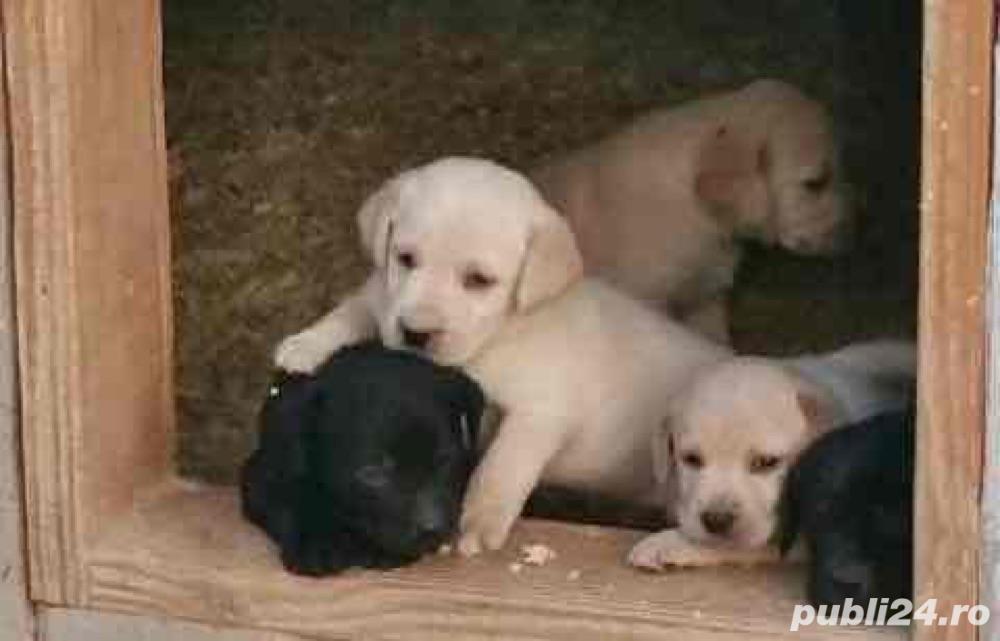 Labrador Retriever de vanzare rasa pura 100%/pedigree