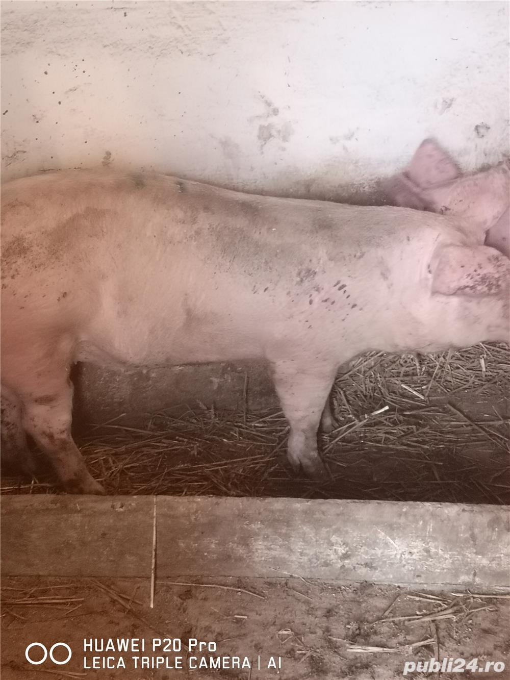 Vând porci de carne 120-130 kg