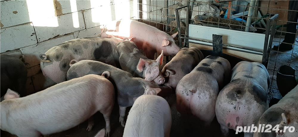 Porci de carne rasă pură