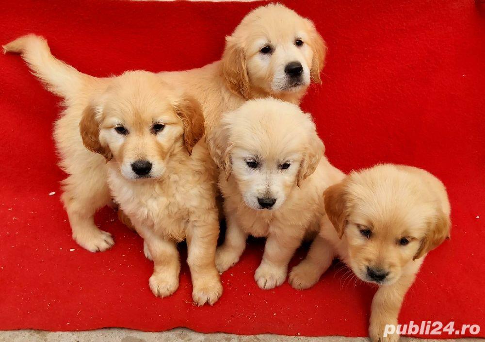 Labrador Retriever(toate culorile)Golden Retriever!!!