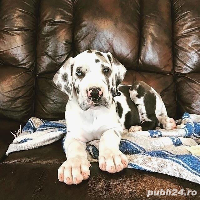 Dog German de top, arlechini, negri,  blue