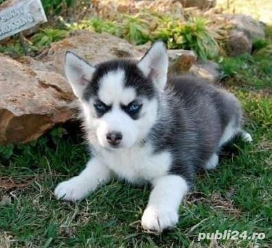 Husky Siberian, ochi albaștri,  carnet, vaccin, deparazitare