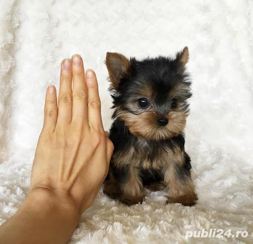Yorkshire Terrier varietatea Mini, nu lasa par