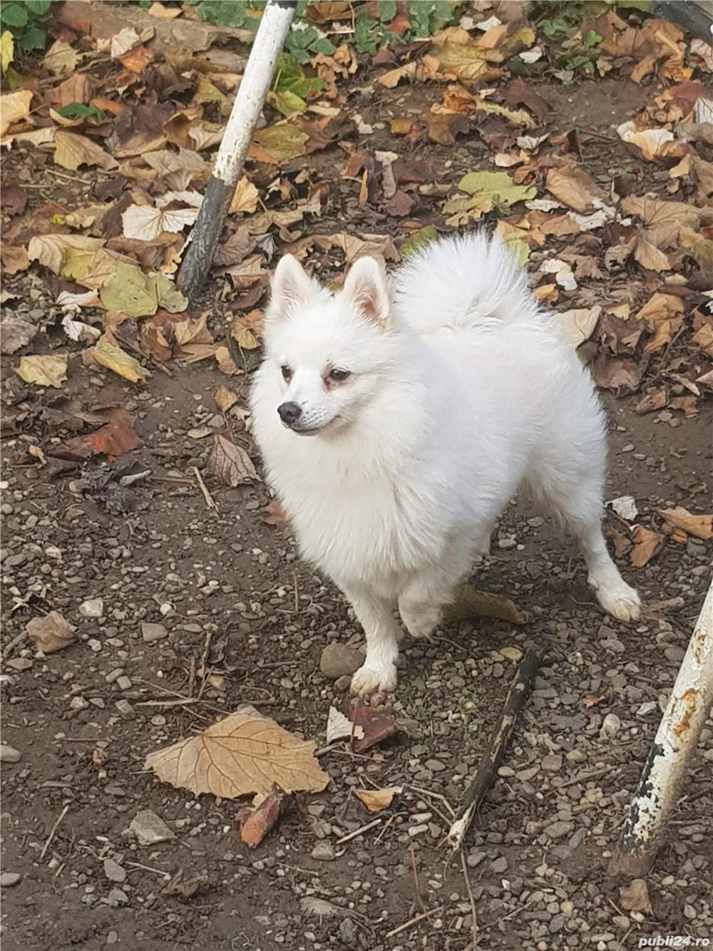 Pomeranian pentru imperechere