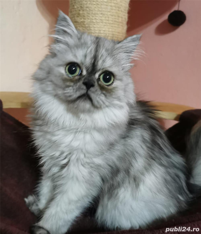Pisici persane