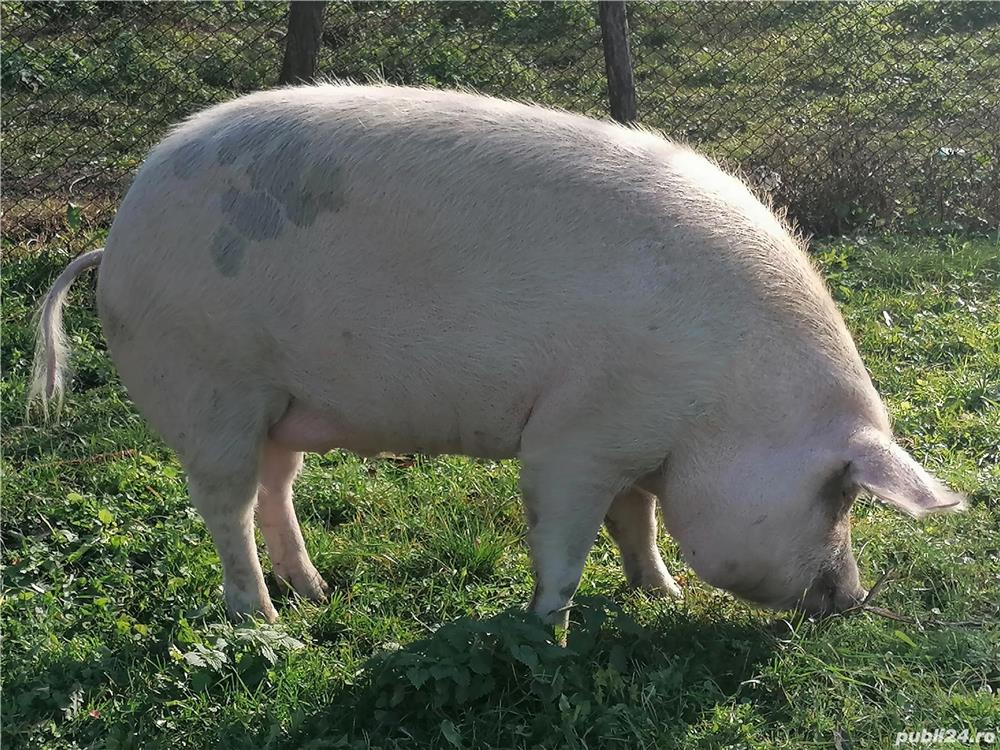 Vând porc de tara preț negociabil