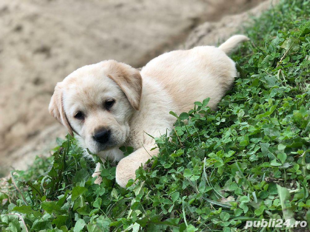 Catei Labrador Retriever Auriu de vanzare 100% rasa pura/ livrare si in strainatate