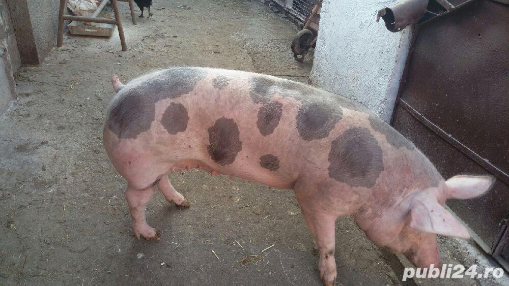 Porci rasa de carne pentru Craciun