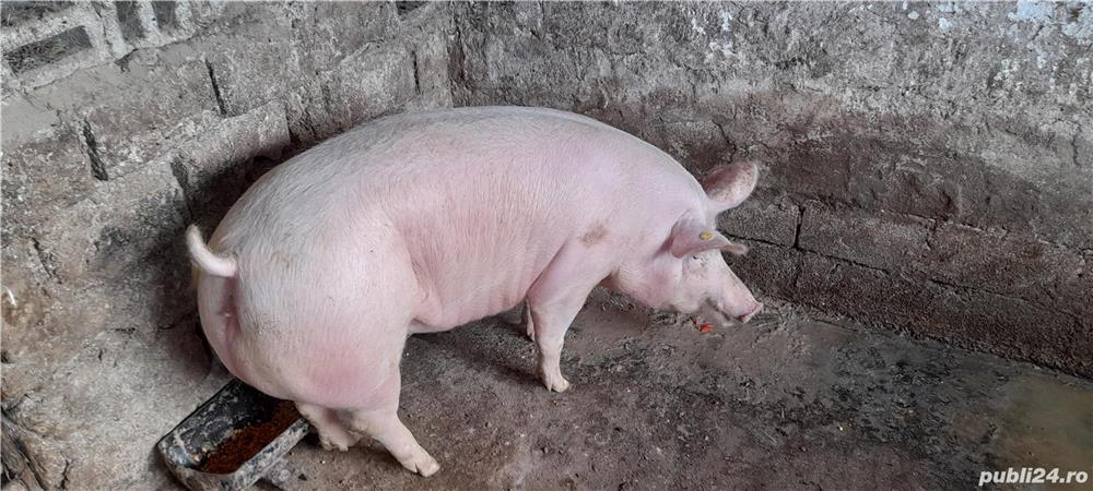 Purcea castrata 180kg-12 lei