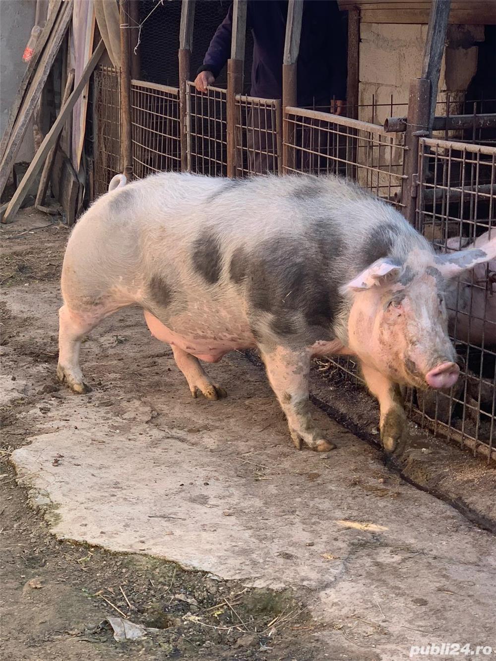 Porc Pietrain rasa de carne
