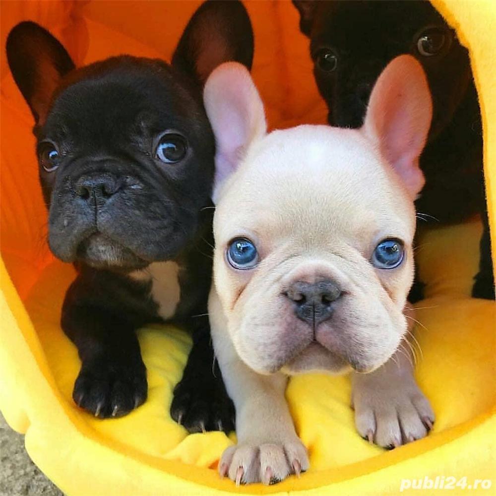 Bulldog Francez rasă pură, 8 saptamani