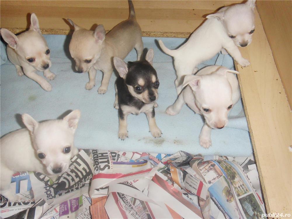 Chihuahua talie teacup,  par scurt, 8 saptamani