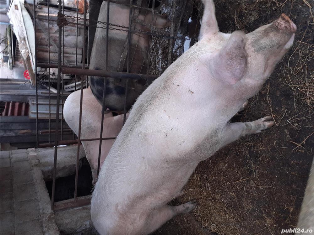 Vând porc