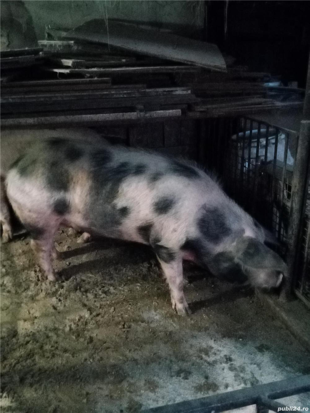 Porc pentru sacrificat