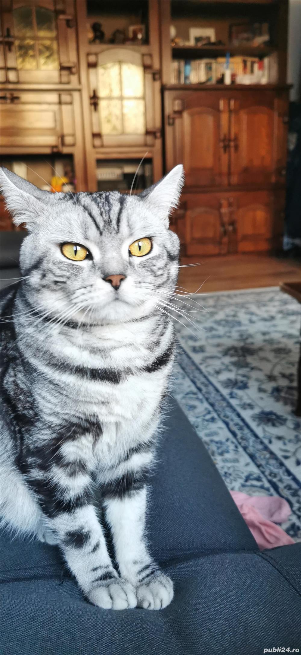 Motan British Shorthair Tabby Disponibil Pentru Împerechere