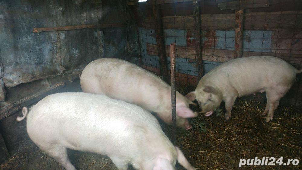 Porc crescut in curte