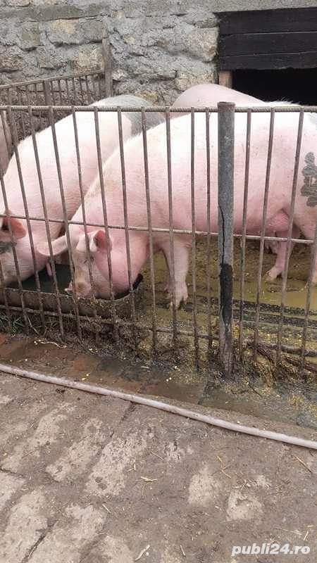 Porci, 12 lei kg