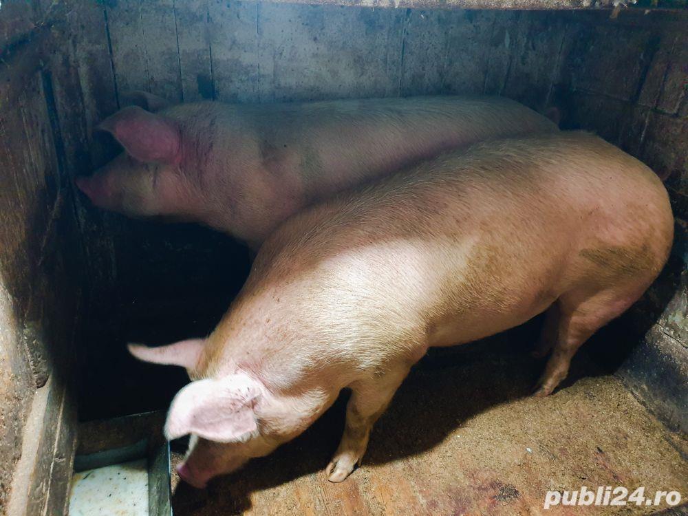 Vând porc 14 lei/kg