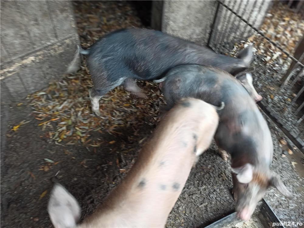 Porci de vanzare