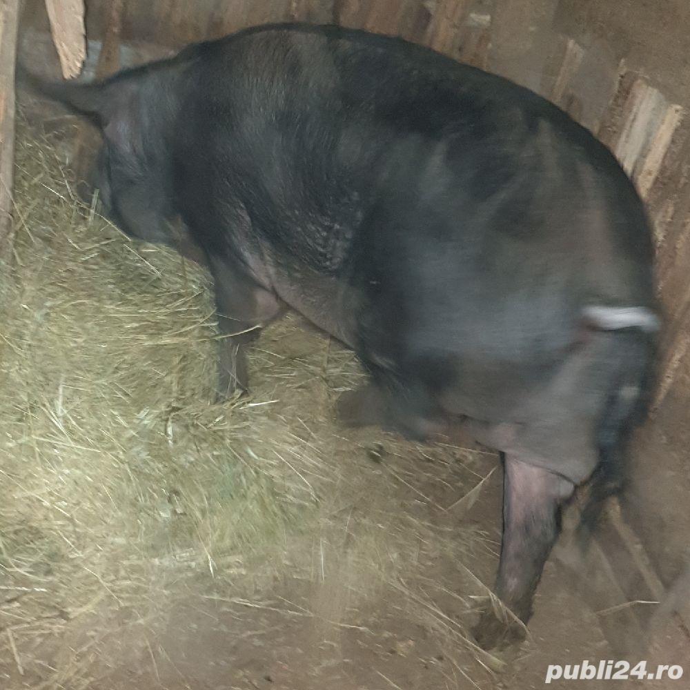 porci crescuti  bio