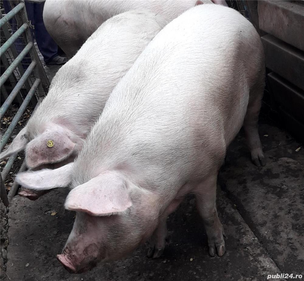 Porci hrăniți bio