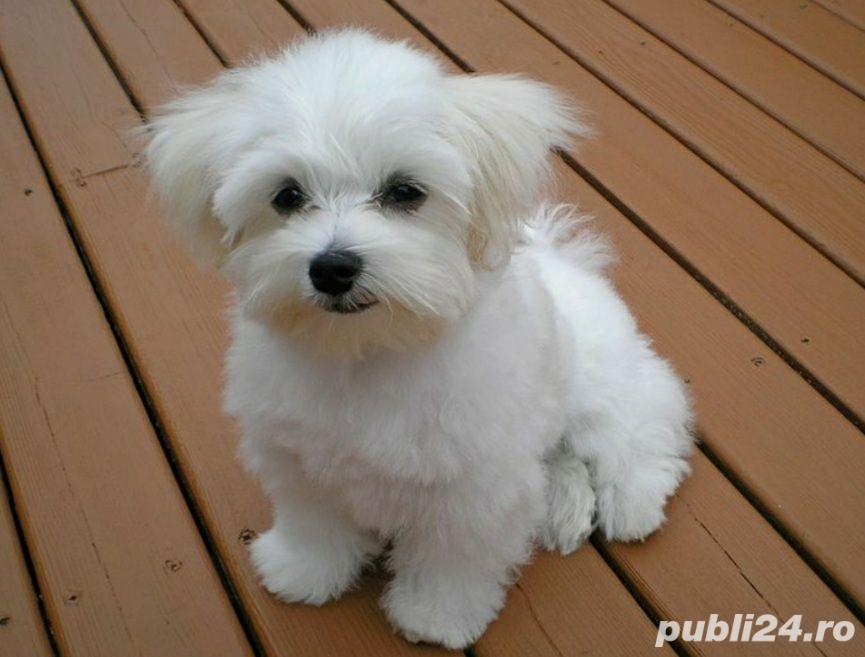 Bichon Maltese din parinti cu pedigree!!!