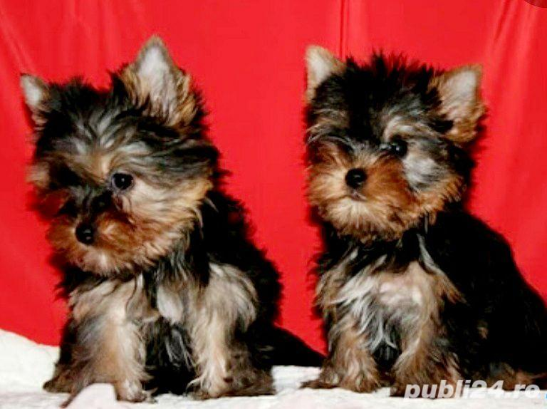 YorkShire Terrier Toy de calitate,Canisa!!!