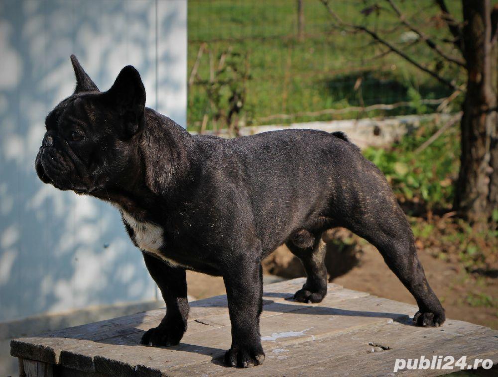 Monta Bulldog Francez Pedegree