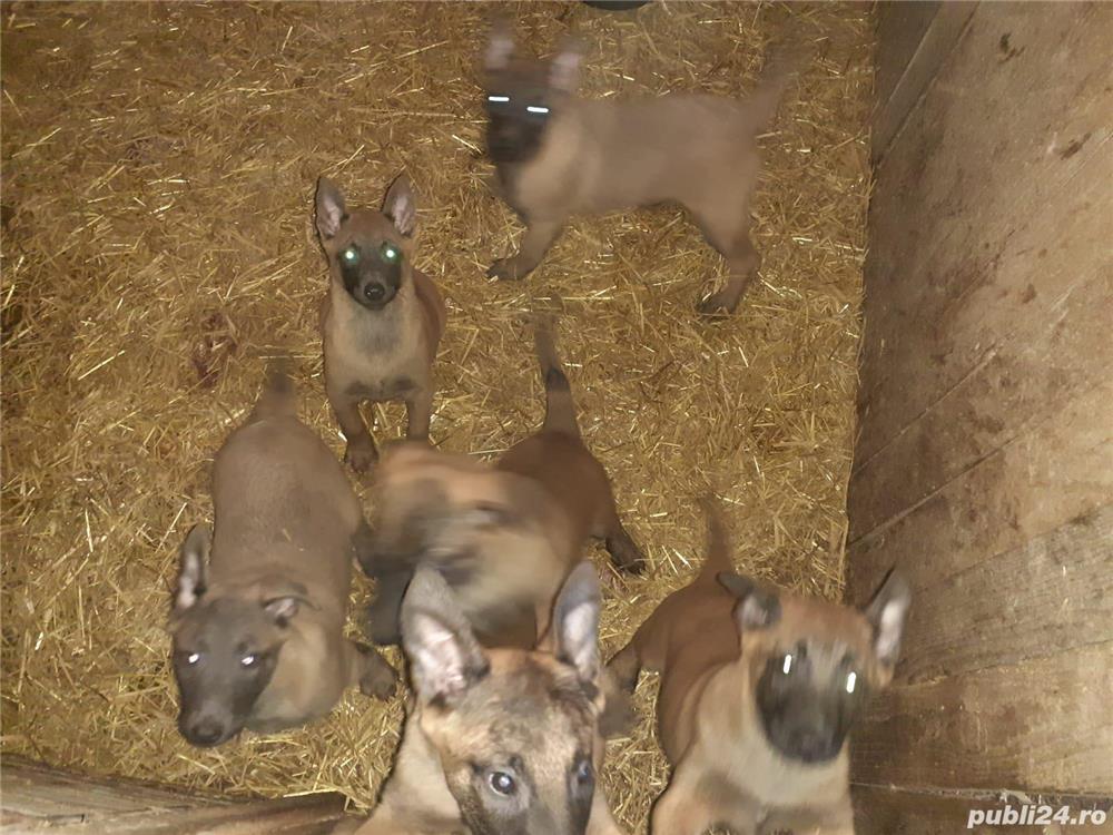 Pui ciobănesc belgian malinois in varsta de 2 luni