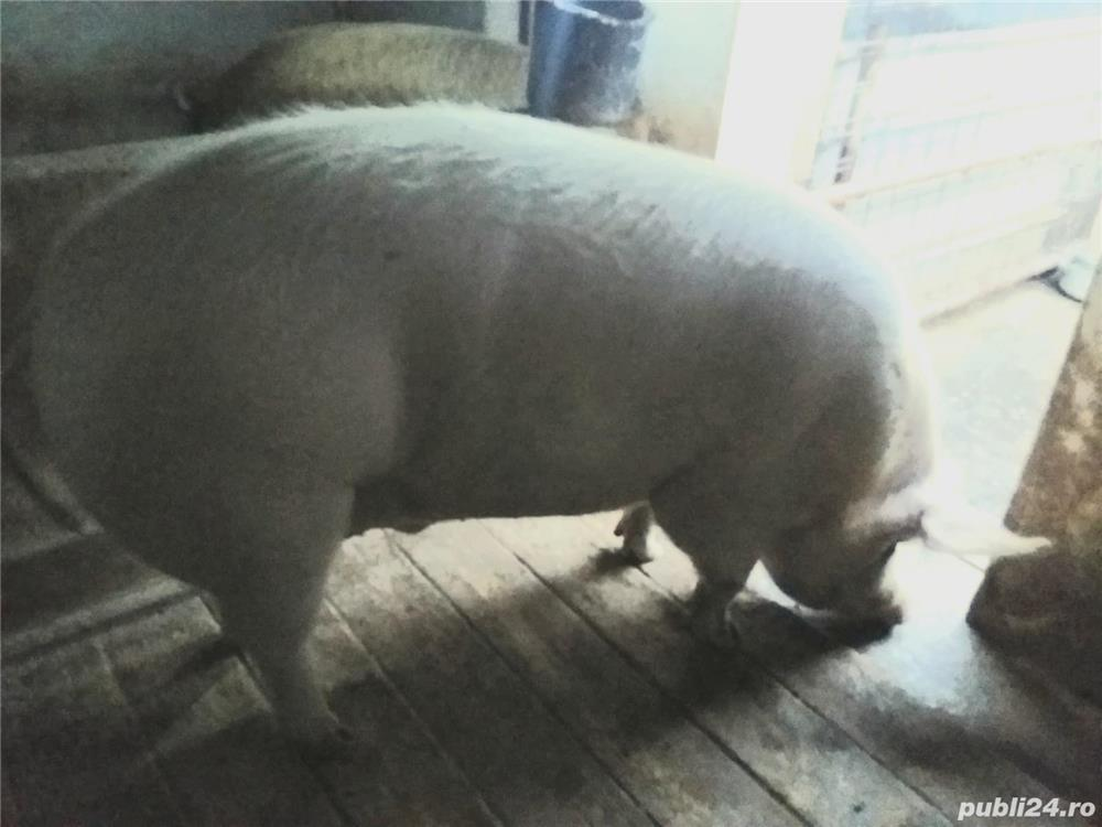 Vand porc mare sau schimb cu diverse, calitate exceptionala!
