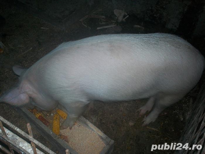 Vând 2 porci de carne ,150 kg