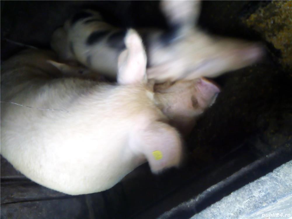 Vacă porci iapă