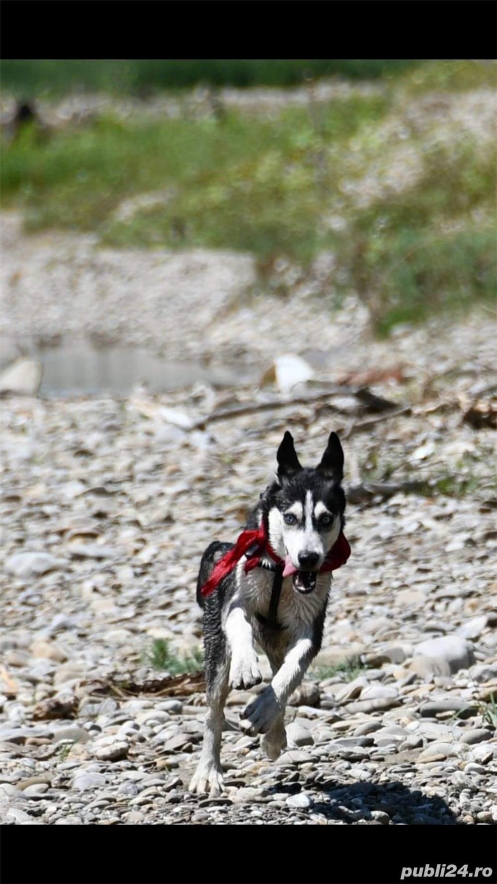 Vând Femelă Husky