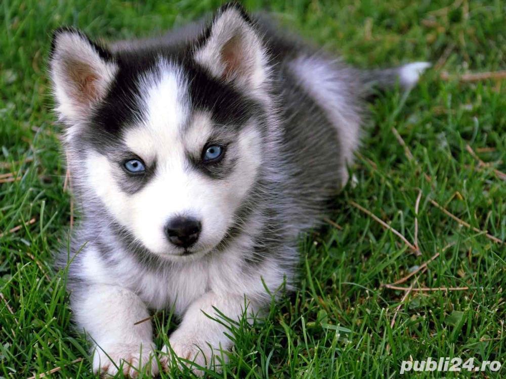 Husky Siberian rasa pura proveniti din linie genetica cu pedigree