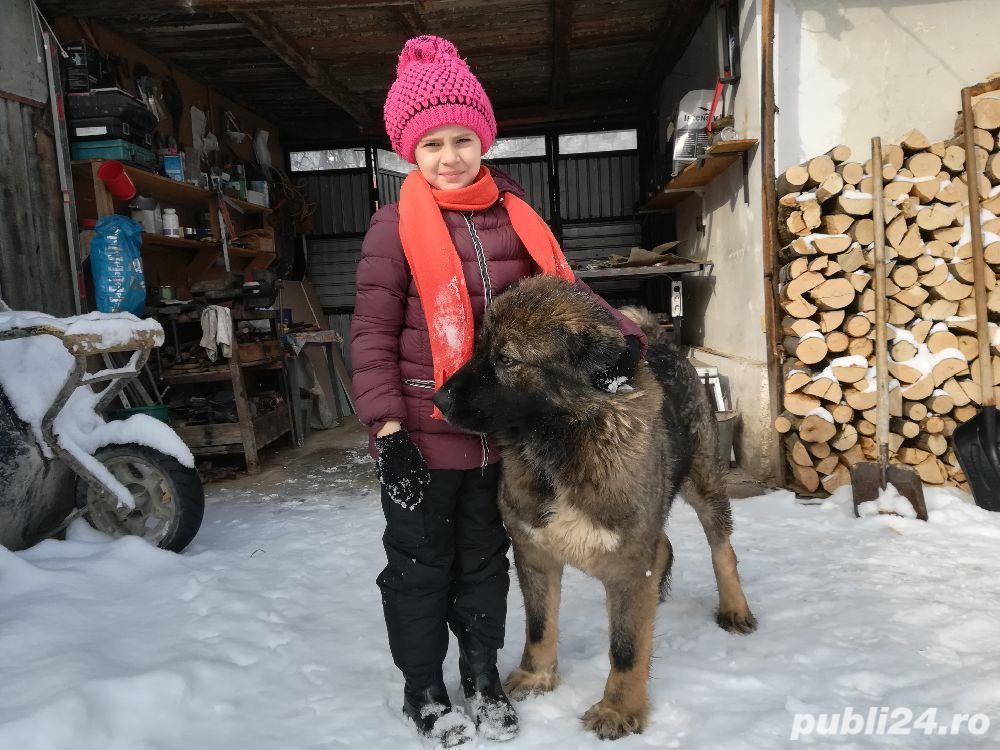 Femelă ciobanesc caucazian cu pedigree