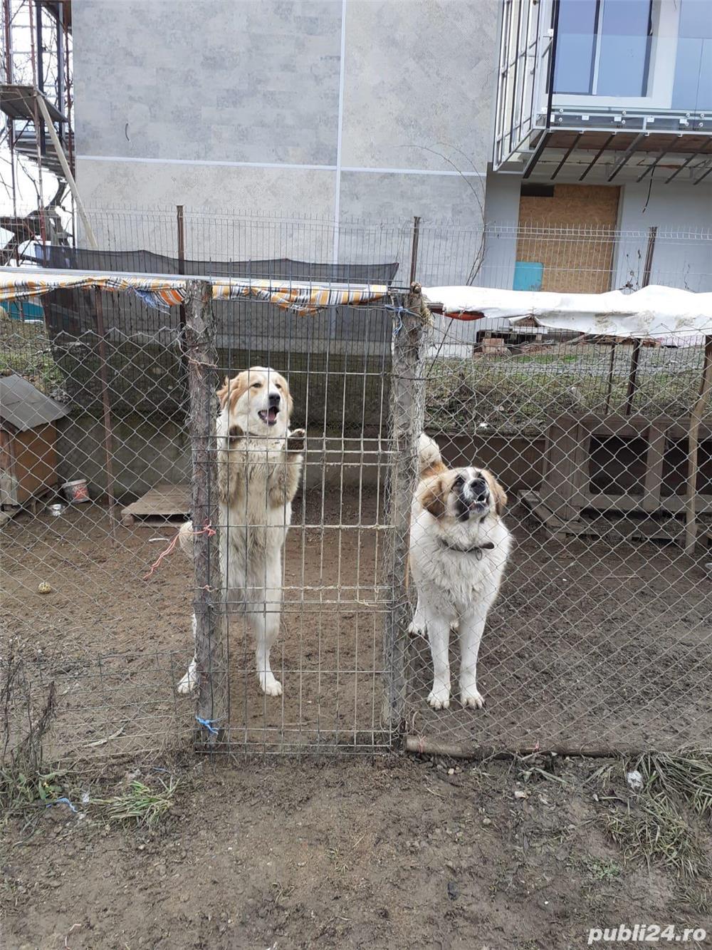 Vând câini