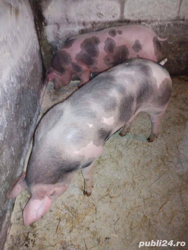 Porci de carne rasa pietrean