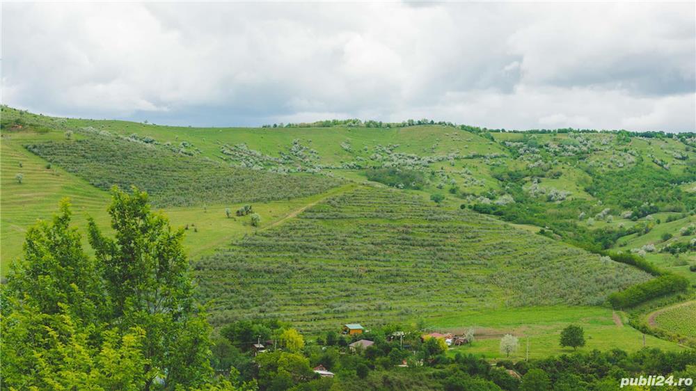 Vând/arendez plantație de cătină certificată ecologic