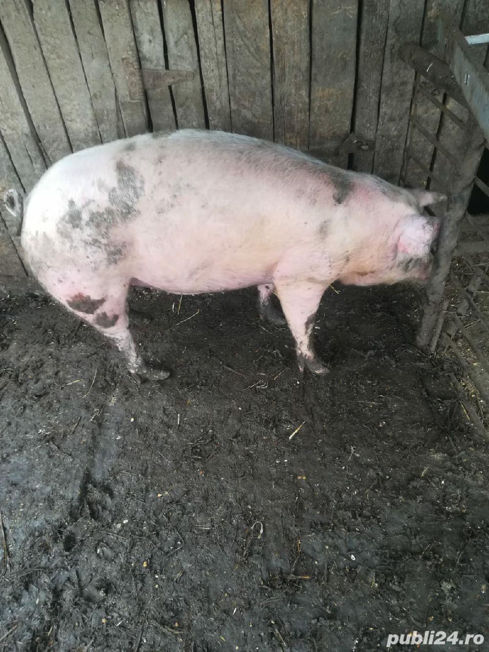 Vand porc