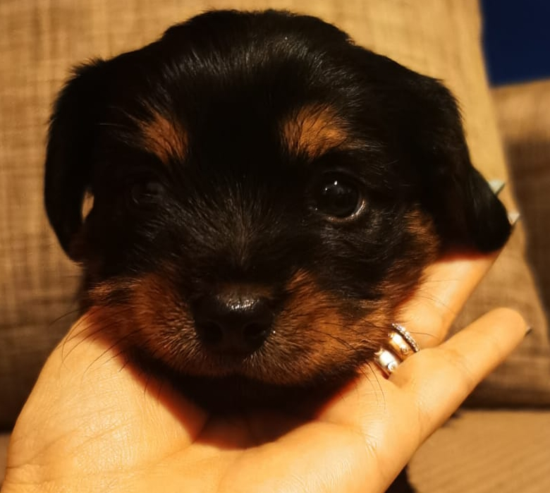 Pui yorkshire terrier mini toy