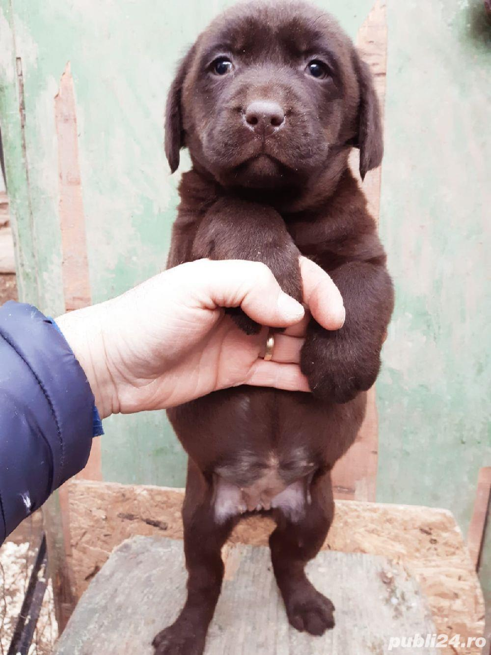 Labrador ciocolatiu pedigree