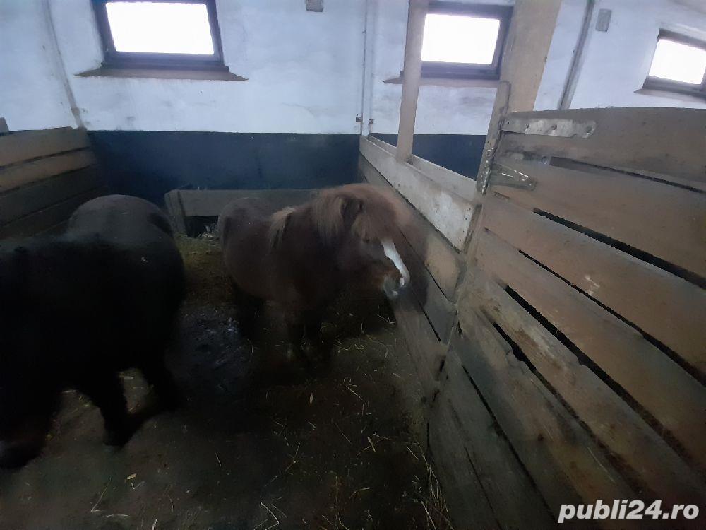 Ponei si vitelusa de vanzare si purcei de vanzare
