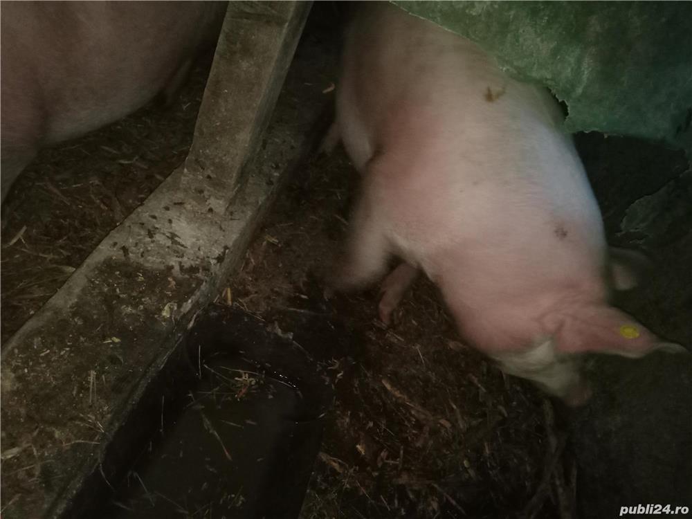 Vând porc 110-120kg preț 12lei