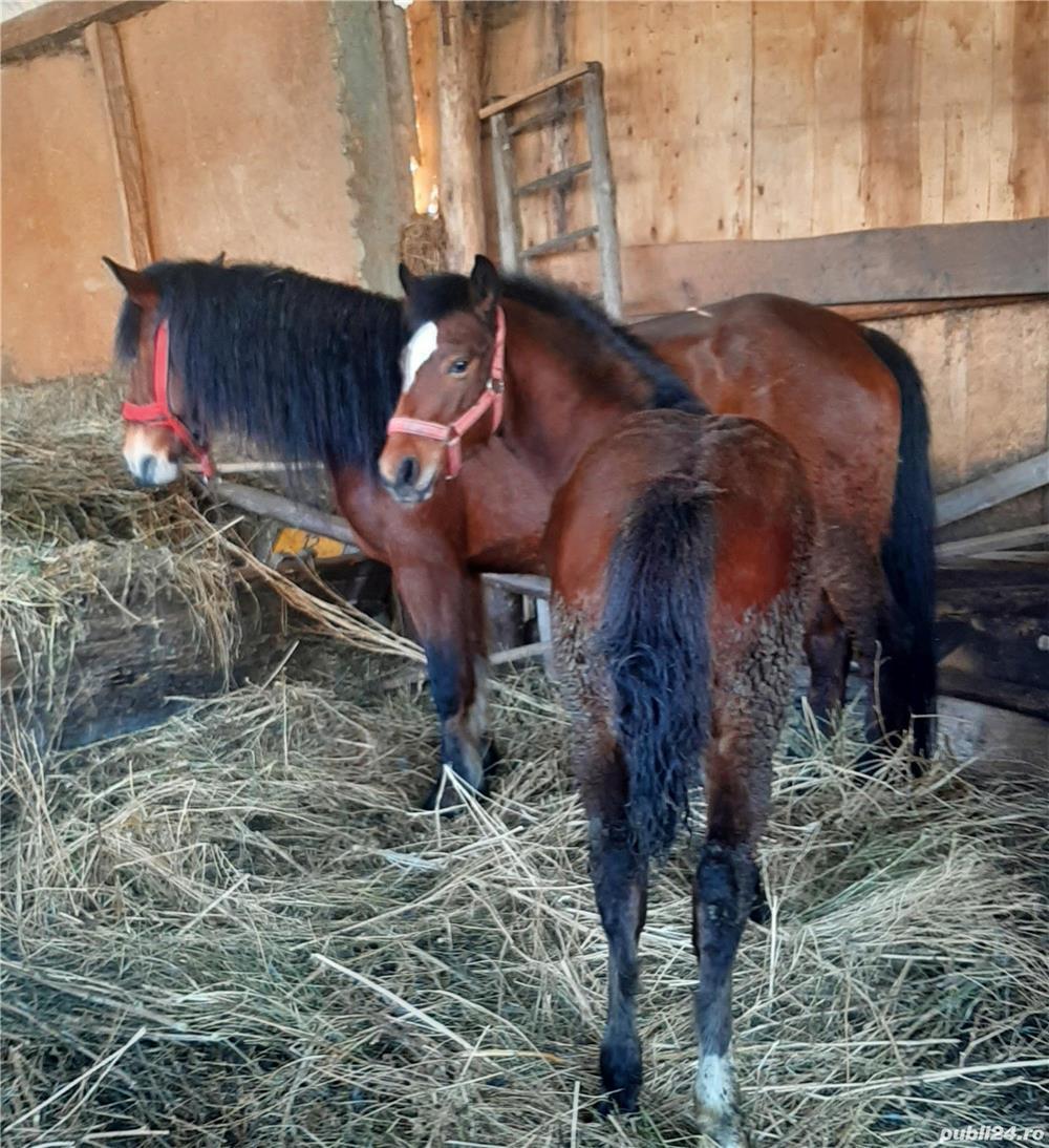 Vind mainz de 4,5 luni foarte blind soi bun de cai