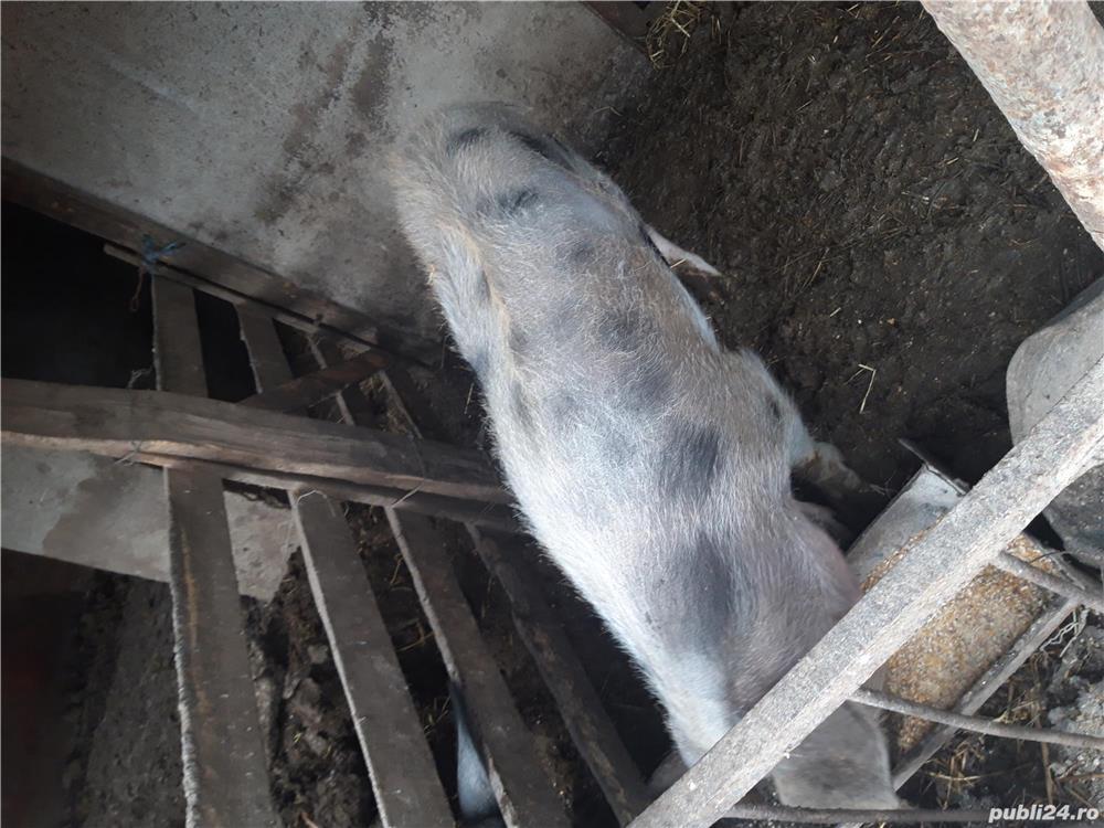 Vand porc 1100 lei