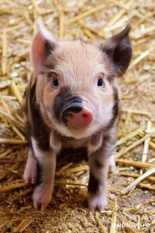 Porci mari și mici de vanzare