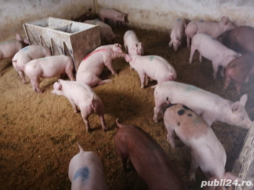 Porci de carne de vanzare